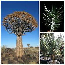 10 semi di aloe dichotoma , piante succulente, piante grasse