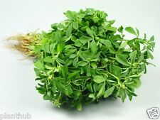 Fenugreek - Methi Spinach - Culinary Herbs Seeds - Pack of 250 seeds.