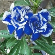New Rare Blue Desert Rose (Adenium) 2 Seeds, 100% True Variety