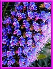RARE Echium Seeds! BOLD BLUE/PURPLE/PINK COLOR! THOUSANDS OF FLOWERS PER PLANT!