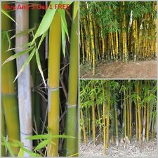 100pcs Fresh Timber Bamboo Seeds with instructions - Bambusa Oldhamii