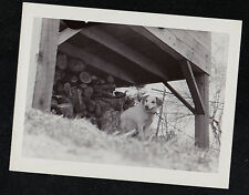 Vintage Antique Photograph Adorable Puppy Dog By Wood Pile Under House