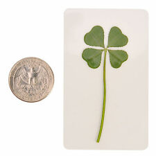 """Real 4 Four Leaf Clover Irish Good Luck Charms Lucky Amulet Fortune Coated M 1"""""""