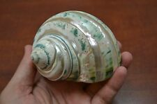 "PEARL GREEN MOTHER OF PEARL BANDED TURBO SEA SHELL HERMIT CRAB 3"" - 3 1/2"" #7965"