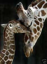 MOTHER & BABY GIRAFFE * QUALITY CANVAS ART PRINT