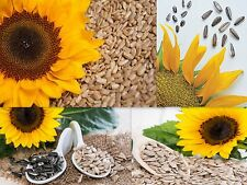 SUPER SNACK MIX SUNFLOWER SEEDS 4 YOUR GARDEN / GROWN SPECIFICALLY 4 HUGE MEATS!