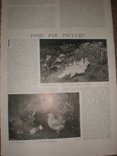 Photo article farming food for poultry 1903 ref U