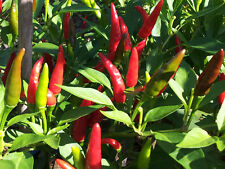 Very Hot Indian Birds Eye Chilli - Selected 20 Healthy Seeds