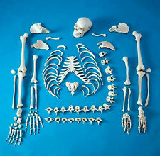 buy disarticulated colored skull, Skeleton