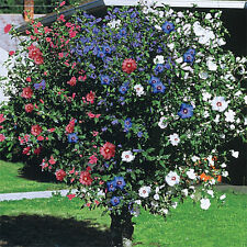 3 IN ONE ROSE OF SHARON HIBISCUS BLOOMS ****1-2 FT ** ONE TREE THREE COLORS
