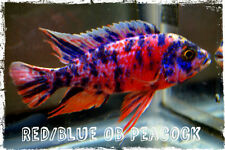 Tropical Fish, African Cichlids, 3 Red/Blue OB Peacocks, FREE SHIPPING!