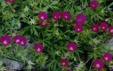 500 WINECUP Seeds a.K.a Poppy Mallow,Cowboy Rose (Callirhoe leiocarpa) Flowers