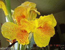 10 Canna Plant Seeds -Tropical Yellow - Wonderful foliage , Rare Color !