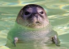 Ansichtskarte: ein Seehund schaut aus dem Wasser