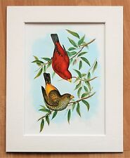 Scarlet Finch Bird Asia - Mounted Vintage John Gould Print 1960s Book Plate