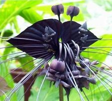 Black Tiger Shall Orchid Flowers Seeds, 20 seeds