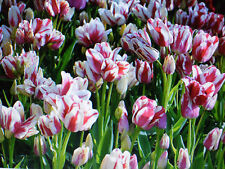 100 Tulip Bulbs 'FLAMING CLUB' multiple blooms per stem, size:12cm+ Plant Now!