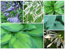 PLANTAIN LILY * Hosta * AMERICAN HYBRIDS MIX*  SHADE & WOODLAND GARDENS * SEEDS