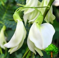 40 SEEDS WHITE SESBANIA GRANDIFLORA AGATTTI AQATI HUMMINGBIRD TREE MEDICINAL USE