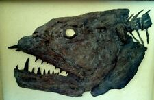 SALE! Predator Bony Fish Fossil - Not Trex or Megalodon Skull Tooth  Xiphactinus