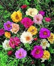 50+ Double Mix Moss Rose Portulaca / Ground Cover / Annual Flower Seeds