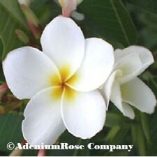 "Plumeria plant White Dream Dwart tons of roots ""not cutting! Great Rich Color!"