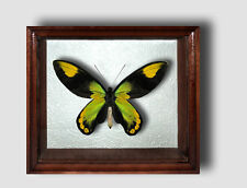 Ornithoptera victoriae male in the frame of expensive breed of real wood. Rare!