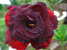 """5-SEMI DI Adenium obesum""""Ammata 2 """"Rosa del deserto -""""semi freschi """"SEEDS. samen"""