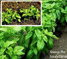 Dufte Kräuter - Süßkraut - Stevia rebaundiana  * 250 Samen für 250 Pflanzen Bio