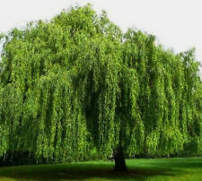 "Weeping Willow Tree (2)  18""- 20""  Salix, babylonica Privacy Swaying"