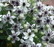 100+ Nigella African Bride Flower Seeds / Love In The Mist / Annual