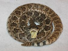 "GENUINE RATTLESNAKE""COILED-OPEN MOUTH"" DESK TOP DISPLAY"