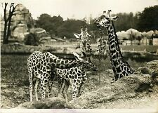 """GIRAFES (JARDIN ZOOLOGIQUE EXPO COLONIALE 1931)"" Photo orig. G. DEVRED/Agce ROL"