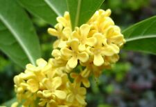 TEA SWEET OLIVE Osmanthus fragrans - 25 seeds MIX colors