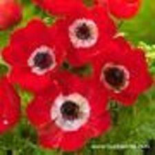 """5 x Anemone coronaria Hollandia """""""" (cormi, taglia 5-6) (spedizione gratuita)"""
