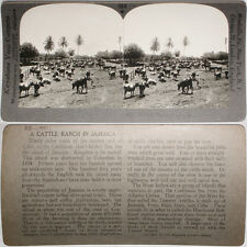 Keystone Stereoview of a Cattle Ranch in JAMAICA From Largest 1200 Card Set #160