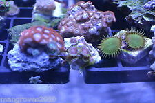 Frag Pack mix of 8  Soft Corals - Super Quality