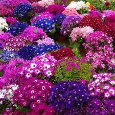 30pcs New Floret Senecio Cruentus Cineraria Seeds Pericallis Rare Flower Garden