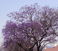 Royal Empress Paulownia Tomentosa 1,000 seeds * Fastest Growing tree* CombSH
