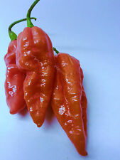10 bengle nagas piment graines long noueuse gousses super hot. grande saveur cropper