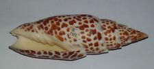 Conchiglia Shell MITRA PAPALIS  mm 107  Samar ( Filippine )  Poco Comune
