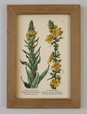 Heilpflanze Heilkräuter Königskerze Faksimile 8 auf Büttenpapier im Holzrahmen 8