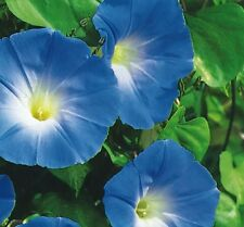 Flower - Annual - Ipomoea Morning Glory Heavenly Blue - 500 Seed