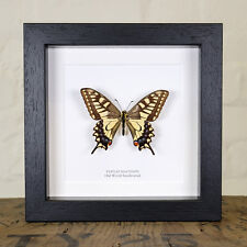 Old World Swallowtail in Box Frame (Papilio machaon)  insect taxidermy