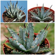 50 seeds of Agave utahensis nevadensis, succulents,cacti, succulents seed R