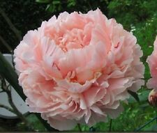 Poppy Seeds Peony Salmon 200  Seeds  Garden Seeds 2u