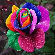 NEW ! 500 Pcs Rare Rainbow Rose Flower Seeds Multi-color Plant Home Garden