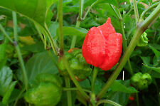 TRINIDAD SCORPION SUNRISE pure seeds
