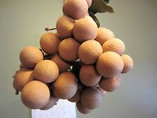 4 Longan Plants in 1 Pot Tropical Fruit Tree Dragon Eye