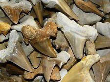Shark Tooth, Otodus, morocco, YOU GET 5, Large,  Bulk-29
